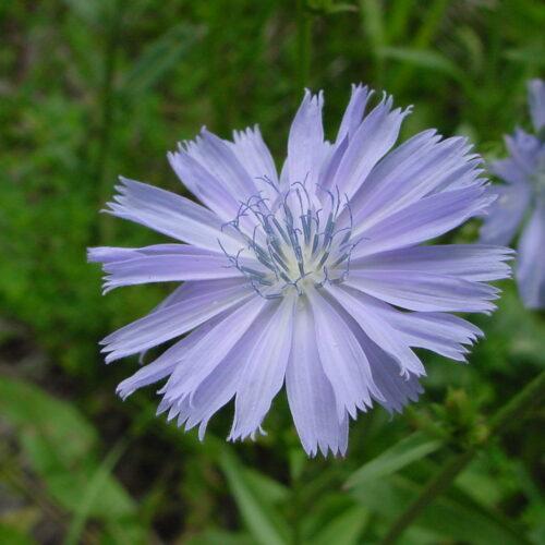 Chicory 3